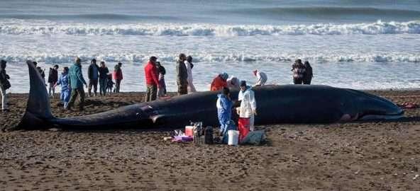 El equipo, con la ballena varada Fin, durante la investigación.